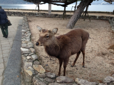 安芸の宮島と言えば鹿。ブルーシートを食べるほどの空腹。